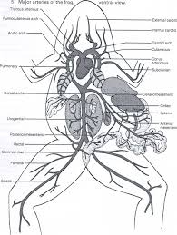 frog digestive system diagram human anatomy labelled