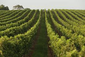 what to consider when planting your own vineyard