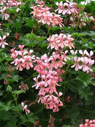 free images white flower petal herb botany hanging garden