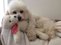 bichon frise instagram the 25 best bichons ideas on pinterest bichon frise small dogs
