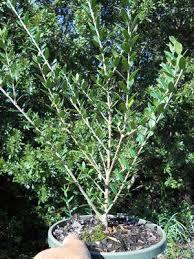 best 25 arbequina olive tree ideas on olive seeds