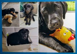 Sponsor A Puppy For The Blind Guidedogs Hashtag On Twitter