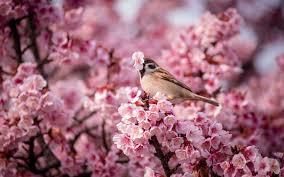 yellow bird on a cherry blossom tree branch 4k hd desktop it s a