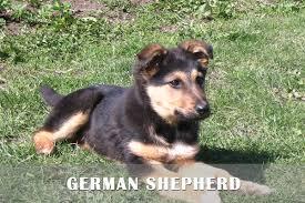 afghan hound rescue north carolina cute afghan shepherd puppies puppy dog gallery