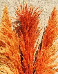 dried pas grass orange color dried grasses
