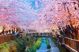 cherry blossoms at night images u0026 stock pictures royalty free
