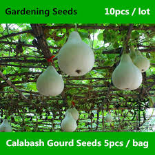ornamental artwork calabash gourd seeds 10pcs meaning auspicious