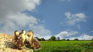 baby duck fights back funny duckling vs duck cute video of baby