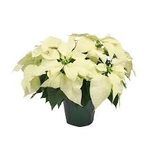 white poinsettia shop 2 quart white poinsettia l17756hp at lowes
