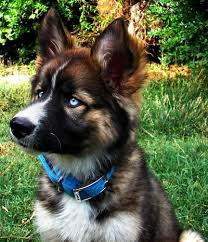 australian shepherd husky puppy best 25 german shepherd husky ideas on pinterest german