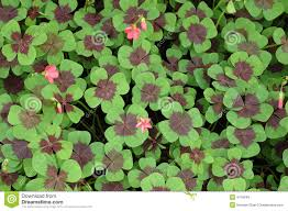 four leaf clover royalty free stock photos image 4718048