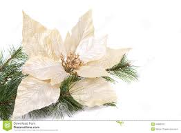 white poinsettia a white christmas poinsettia stock image image of decor