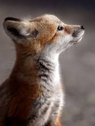 best 25 baby foxes ideas on pinterest foxes baby fox pet and