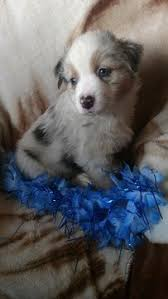 5 week old mini australian shepherd best 25 aussie puppies for sale ideas on pinterest mini aussie