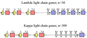 difference between kappa and lambda light chains of immunoglobulins