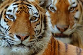 siberian tiger vs bengal facts comparison types of tiger