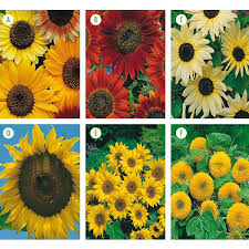 sunflower collection seeds from mr fothergill u0027s seeds and plants