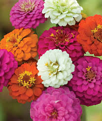 Zinnia Flower Zinnia Seeds And Plants Bedding And Cut Flowers At Burpee Seeds