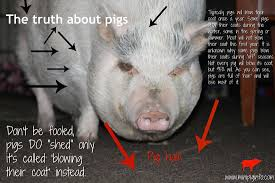 mini pig info a blog about various topics that may affect mini pigs