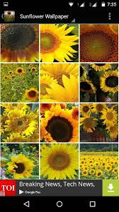sunflower wallpapers sunflower wallpaper hd android apps on google play