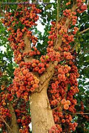 sycamore fig ficus sycomorus fruit tree seeds 40 nos t 042 x 2
