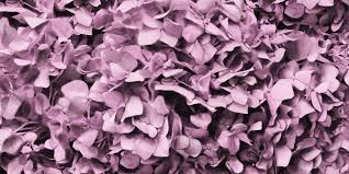dusty pink hydrangea mural wallpaper u2013 flying dutchman walls