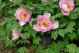 Peonies Season Heirloom Peonies Delicate Tree Peonies Extend Bloom Season At