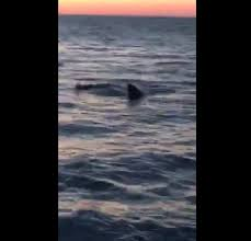 great white shark spotted near provincetown shoreline news
