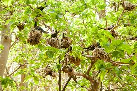 the bird catching pisonia trees jstor daily