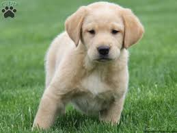 golden retriever mix puppies for sale greenfield puppies