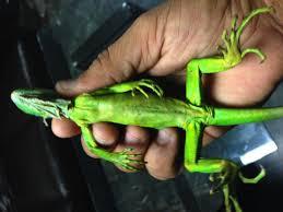 imágenes de iguanas verdes aseguran 10 iguanas verdes en aeropuerto de matamoros tamaulipas