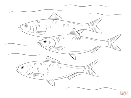 skipjack herring fish coloring page free printable coloring pages