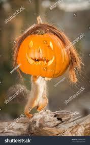 red squirrel standing halloween pumpkin hair stock photo 500041495