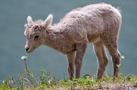 file bighorn lamb alberta jpg wikimedia commons