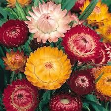 straw flowers strawflower seeds xerochrysum bracteantha helichrysum