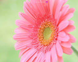 photo collection desktop flower wallpaper 815