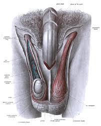 Male Internal Organs Anatomy File Sobo 1906 490 Png Wikimedia Commons