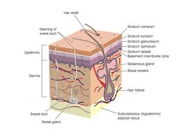 Outline The Anatomy And Physiology Of The Human Body Structure And Function Of The Skin