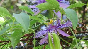 north texas native plants vines for texas dallas garden buzz