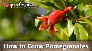 grow goji berries organic gardening blog