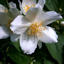 Jasmine Flowers Health Benefits Of Jasmine Flowers Articles Purify Tea