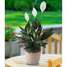 peace lilly peace plant oasis florists terenure dublin flowers