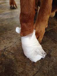 boxer dog feet keeping a paw dressing dry rhodes 2 safety