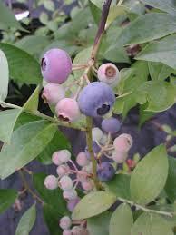 recommended rabbiteye blueberry plants