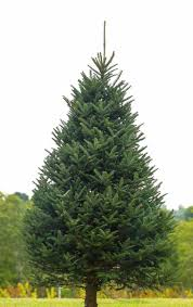 fraser fir christmas tree real christmas trees wolcyn tree farms minnesota