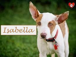 adopt a australian shepherd adopt me wednesday isabella dog tails