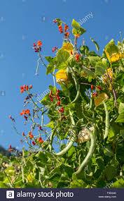 scarlet runner beans growing on a tepee trellis in leavenworth