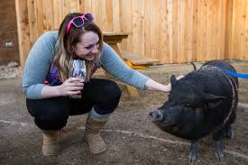 photos hog haven farm brings pot bellied pigs to resolute brewing