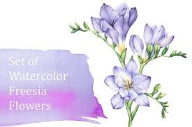 freesia flower set of watercolor freesia flowers illustrations creative market