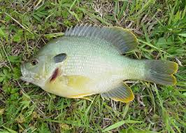 Garden Pond Fish Types Small Ponds Support Hybrid Sunfish Well Mississippi State